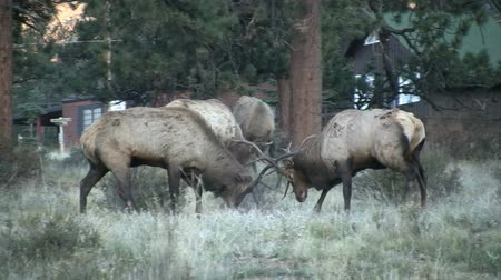 býci : Bull Elk Fighting During Rut