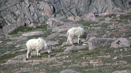 memeli : Mountain Goats in the Alpine