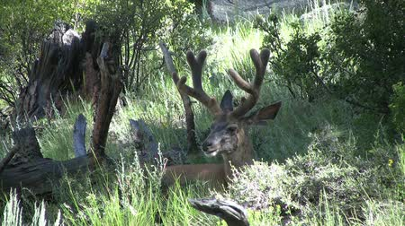 memeli : Mule Deer Buck in Velvet