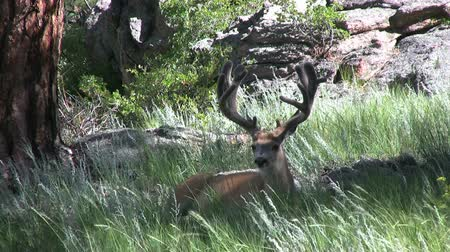 memeli : Bedded Mule Deer Buck in Velvet Stok Video