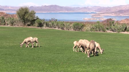 nevada : Desert Bighorn Herd Feeding