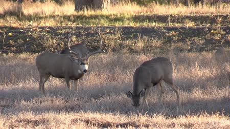 papel : Mule Deer Buck and Doe in Rut