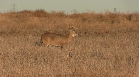 vadon : Whitetail Buck