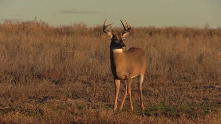 papel : Whitetail Buck