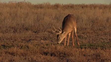 papel : Whitetail Buck Feeding