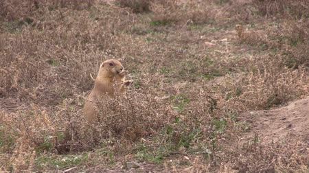 roedor : Prairie Dog Eating