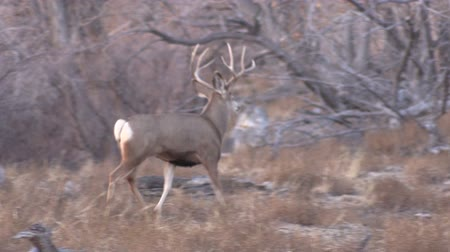papel : Mule Deer buck