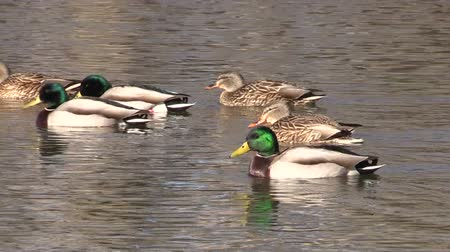 утки : Mallards Swimming Стоковые видеозаписи