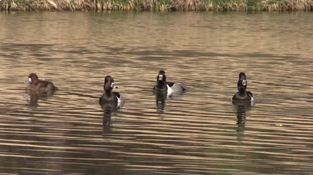frango : Ring-necked Ducks on Pond