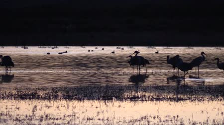 sandhill crane : Sandhill Cranes Resting at Sunset Stock Footage