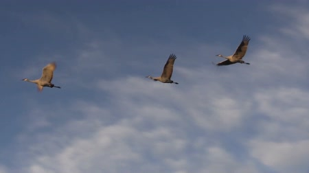 sandhill crane : Sandhill Cranes in Flight