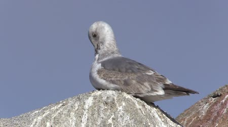 racek : Seagull on Rock