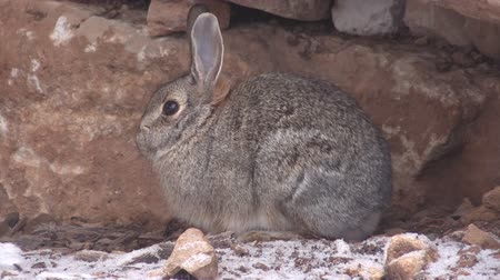 króliczek : Cute Cottontail Rabbit Wideo