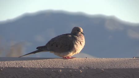 colomba : Mourning Dove