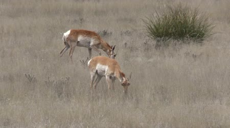 vadon : Pronghorn Does Grazing