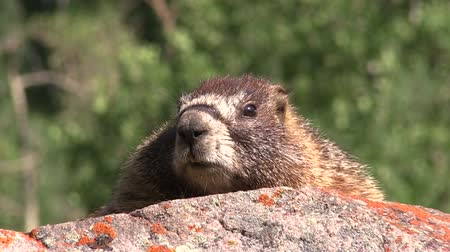 alpes : Yellow-bellied Marmot