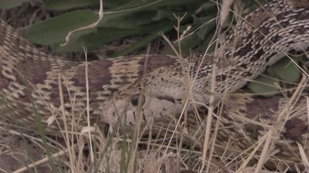 slithering : Bull Snake in the Grass Stock Footage