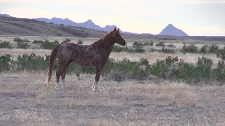cavalos : Wild Horse in the Utah Desert
