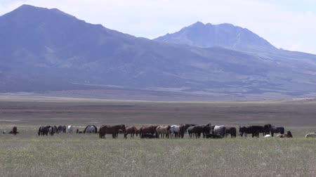 cavalos : Wild Horses in the Utah Desert