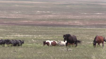 herd : Herd of Wild Horses Stock Footage