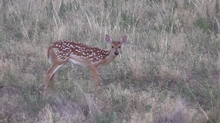 kolouch : Whitetail Deer Fawn