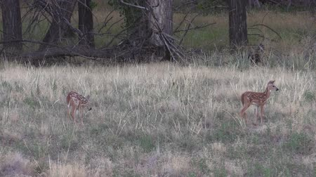 олененок : Whitetail Deer Fawns Стоковые видеозаписи