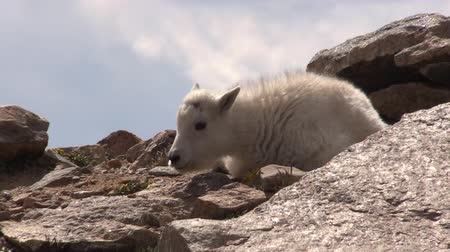 kecske : Mountain Goat Kid