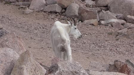 capre : Mountain Goat