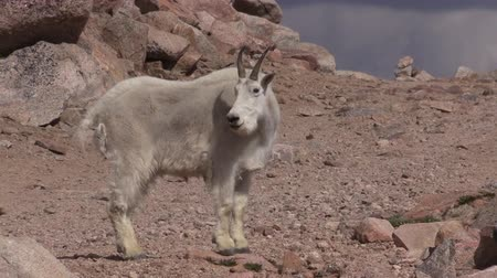 cabra : Mountain Goat