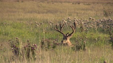 papel : Mule Deer Buck in Velvet