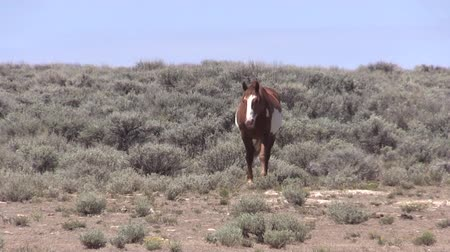 Wild Horse in the Colorado Desert Stock Footage