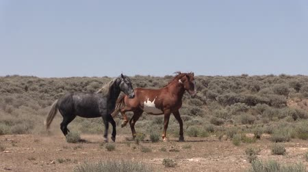 konie : Wild Horses in the Colorado Desert Wideo