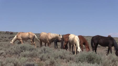 Wild Horses in the Colorado Desert Stock Footage