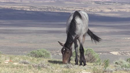 havza : Wild Horse in the High Desert Stok Video