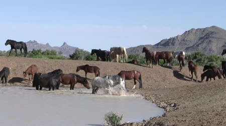 herd : Wild Horses at a Desert Waterhole