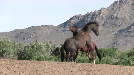 doğa : Wild Horse Stallions Fighting in the Utah Desert