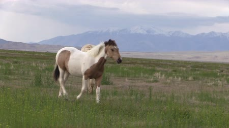 égua : Wild Horse Stallion and Mare in Utah in Spring