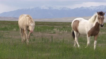 Wild Horse Stallion and Mare in Utah in Spring