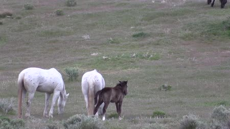 Wild Horse Mare and Foal Wideo