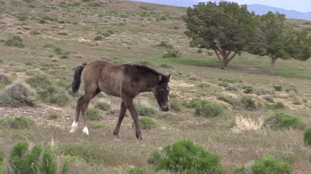 Wild Horse Foal Stock Footage