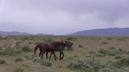 animals in the wild : Wild Horse Stallions Fighting