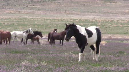 konie : Herd of Wild Horses in Utah