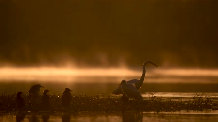 brodění : The Great White Egret in golden misty morning
