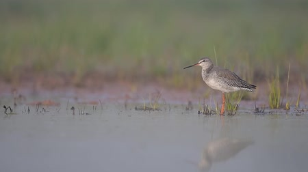 uncultivated : Spotted redshank