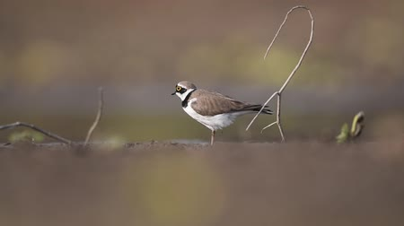 mevcut : Little Ringed Plover Stok Video