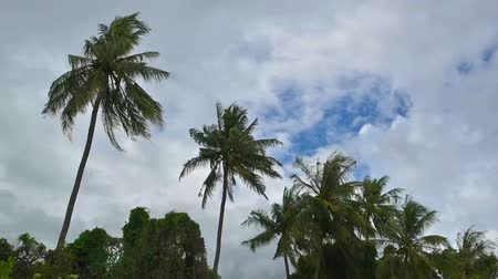 повреждение : Strong winds shook the Coconut palm trees before a storm in rainy season of Thailand. Стоковые видеозаписи