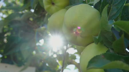 dal : ray of sun shining through branch of ripe apples