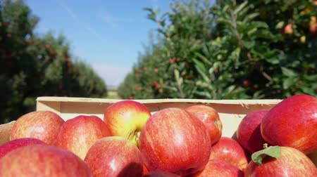 feltörés : Close-up of a box of ripe red apples moves along a row of apple trees in the garden