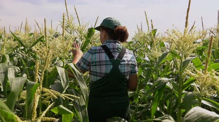 farm equipment : camera moves behind an agronomist in the field of corn Stock Footage