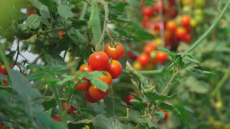 molho de tomate : Cherry tomatoes growing on the bush in the greenhouse Stock Footage